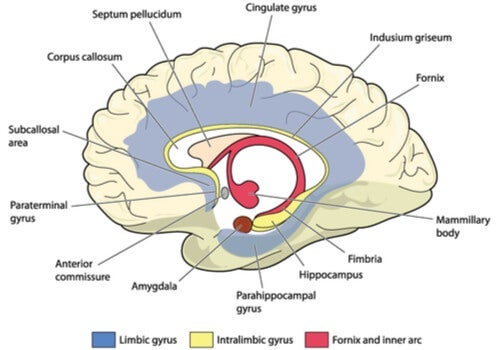 A diagram of the cingulate gyrus.
