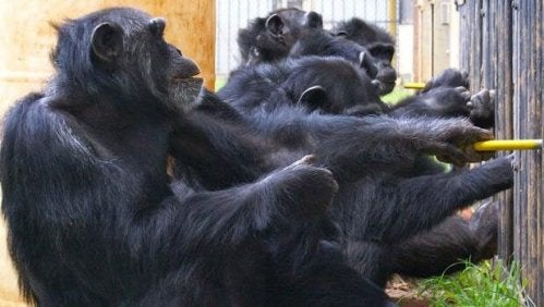 Chimpanzees participating in an experiment.