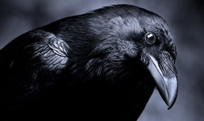 Intelligence in the Animal Kingdom: Ravens