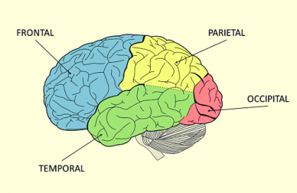 A diagram of the lobes of the brain.