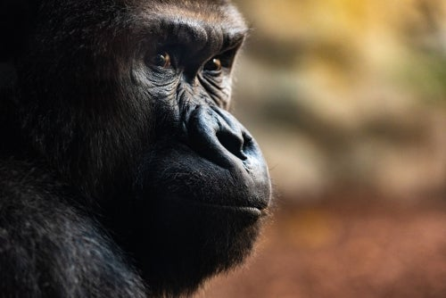 Three Incredible Death Rituals by Gorillas