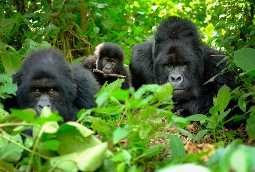 Gorillas in the jungle: gorilla death rituals.