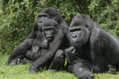 Three gorillas.