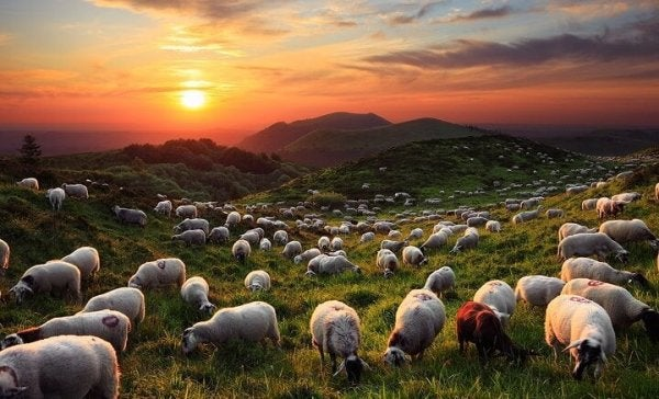 Some sheep in a field.