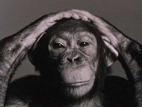 A chimpanzee with hands on its head.