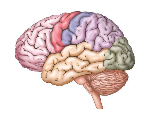 A colored diagram of the brain.