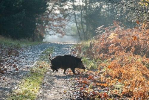 A boar crossing a road.