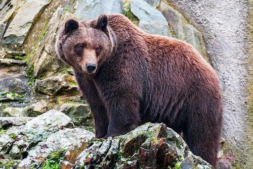 A brown bear standing on a rock.