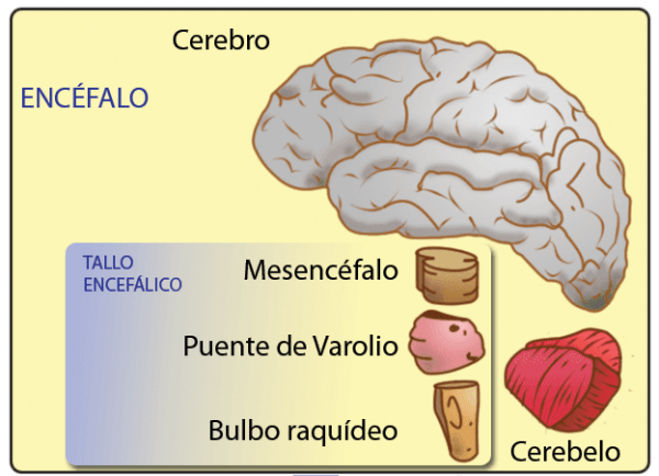 Midbrain - Characteristics and Functions