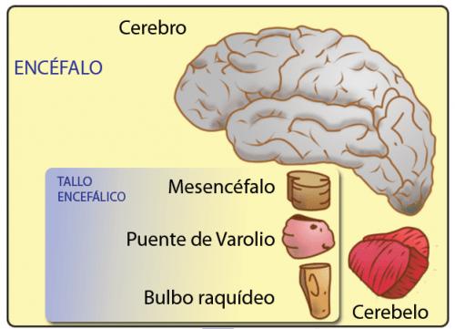 Midbrain – Characteristics and Functions