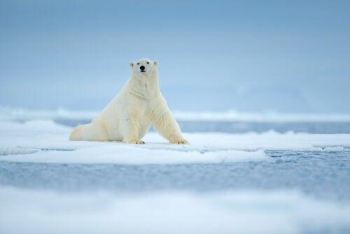 A polar bear on some ice.