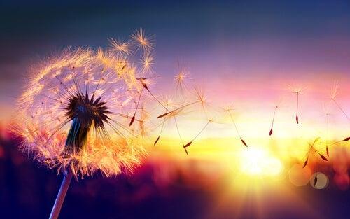 A dandelion at sunrise.