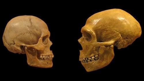 Two human skulls.