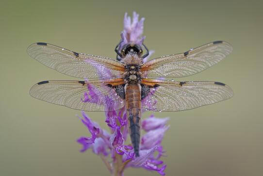 A dragonfly on a flower.