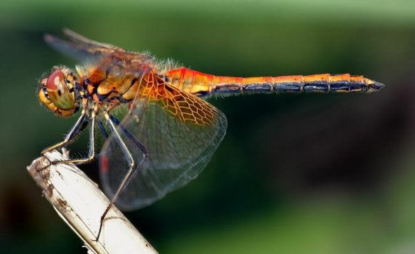 A red dragonfly.