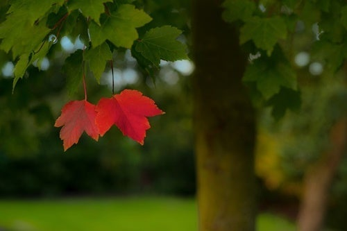 Two red leaves on a tree.