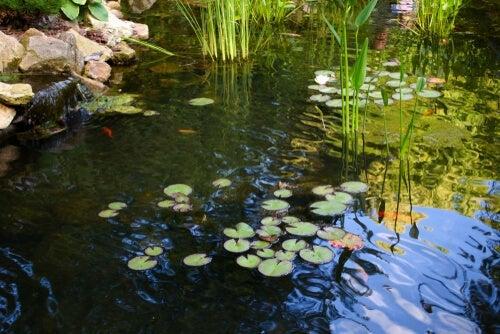A fish pond.