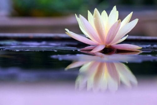 A water lily that's part of an ancient Zen legend.
