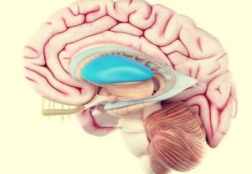 A model of a brain.