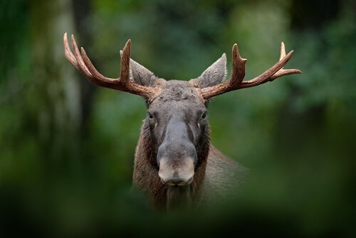 A moose out of focus.