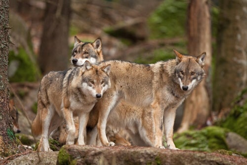 Three wolves in their natural environment.
