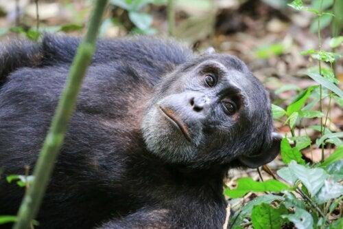 A Washoe chimpanzee.