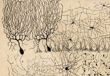 Purkinje neurons.