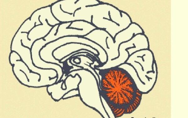 The location of the cerebellum in the brain.