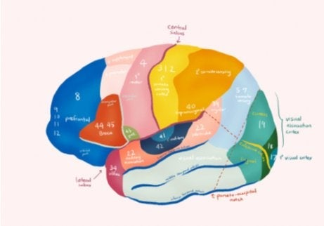 The Brodmann areas of the brain.