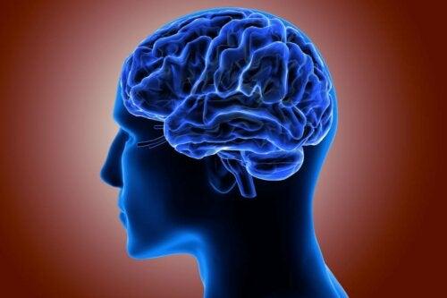 A cerebral cortex.