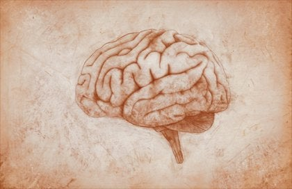 A drawing of a brain on parchment.