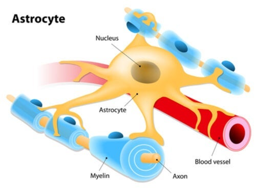 Illustration of an astrocyte.