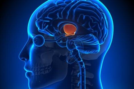 The hypothalamus in the brain.