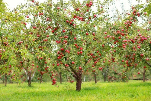 An apple orchard.