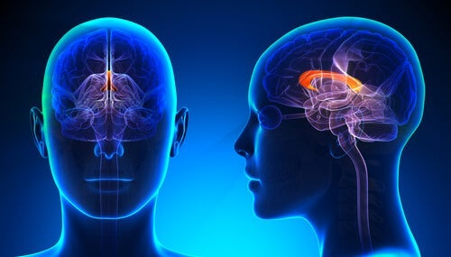 All About the Corpus Callosum