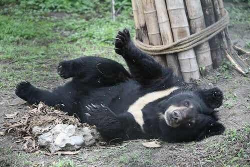 Svartbjörn på zoo.