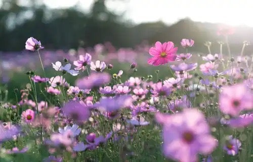 Ett fält med blommor.