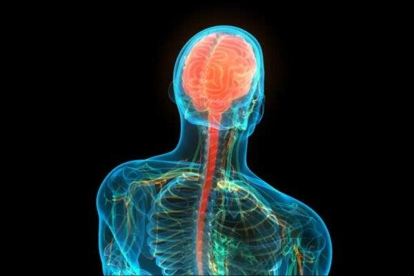 Een diagram dat de hersenen en het ruggenmerg toont