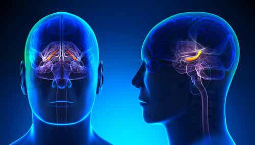 Hippocampus i hjernen er en del af neurobiologien bag angst