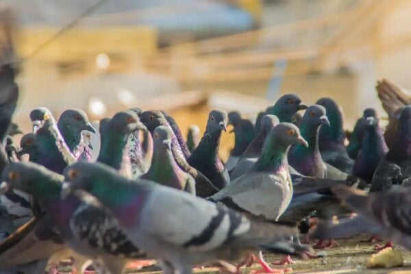 A group of pigeons.