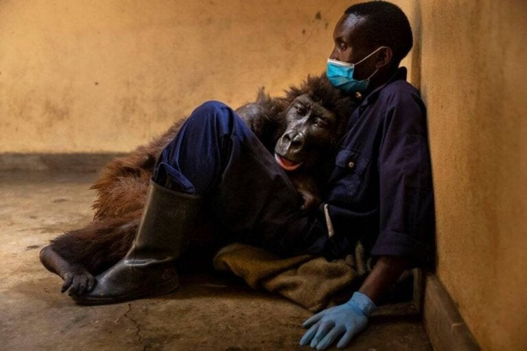 The Gorilla, Ndakasi, Leaves This World in the Arms of her Carer